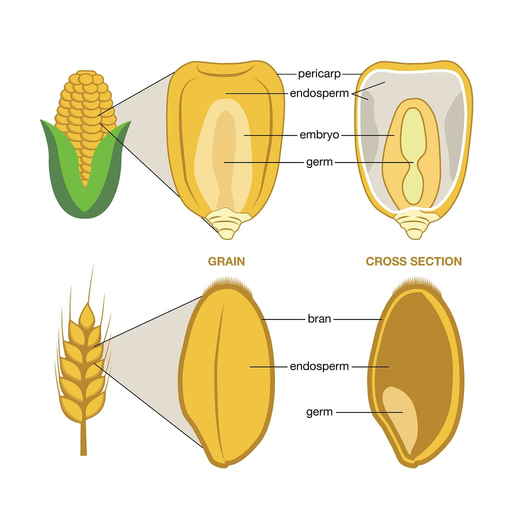 The grain or kernel of maize and wheat is made up of three edible parts: the bran, the germ and the endosperm. (Graphic: Nancy Valtierra/CIMMYT)