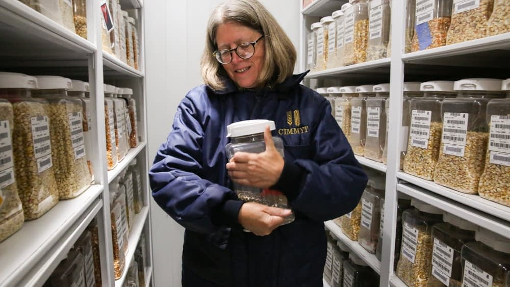 Denise Costich, the maize collection manager at CIMMYT's Maize and Wheat Germplasm Bank, shows one of the genebank's more than 28,000 accessions of maize. (Photo: Luis Salazar/Crop Trust)