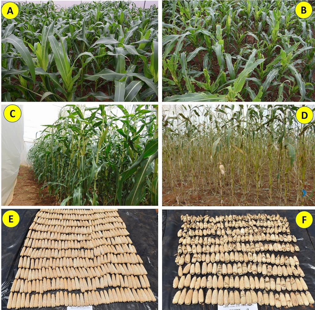 "Figure 1. Responses of CIMMYT-derived fall armyworm tolerant hybrids versus susceptible commercial checks at the vegetative stage (A & B) and at reproductive stage (C & D), respectively, after fall armyworm artificial infestation under ""no choice"" trial in screenhouses at Kiboko, Kenya. Note the difference in the harvest of a FAWTH hybrid (E) versus one of the commercial susceptible hybrid checks (F), besides the extent of damage caused by fall armyworm to the ears of the susceptible check (visible as blackish spots with no grains in the ears)."