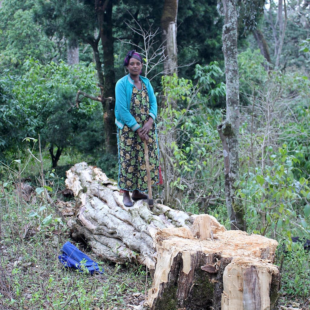 Smallholders clear forests for agriculture, but they also have an impact on forests through livestock grazing and fuelwood harvesting, as on this picture in Munesa forest, Ethiopia. (Photo: Frederic Baudron/CIMMYT)