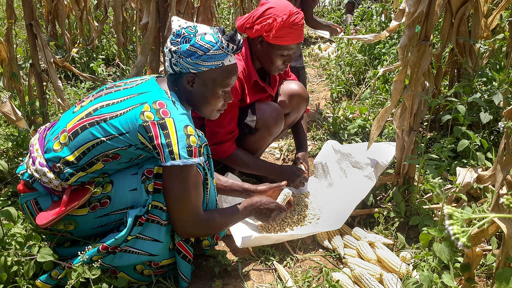 Smallholder farmers remove kernels from cobs during an on-farm evaluation of Ms44 hybrids in Kakamega, Kenya. (Photo: Virginia Ndungu/KALRO)