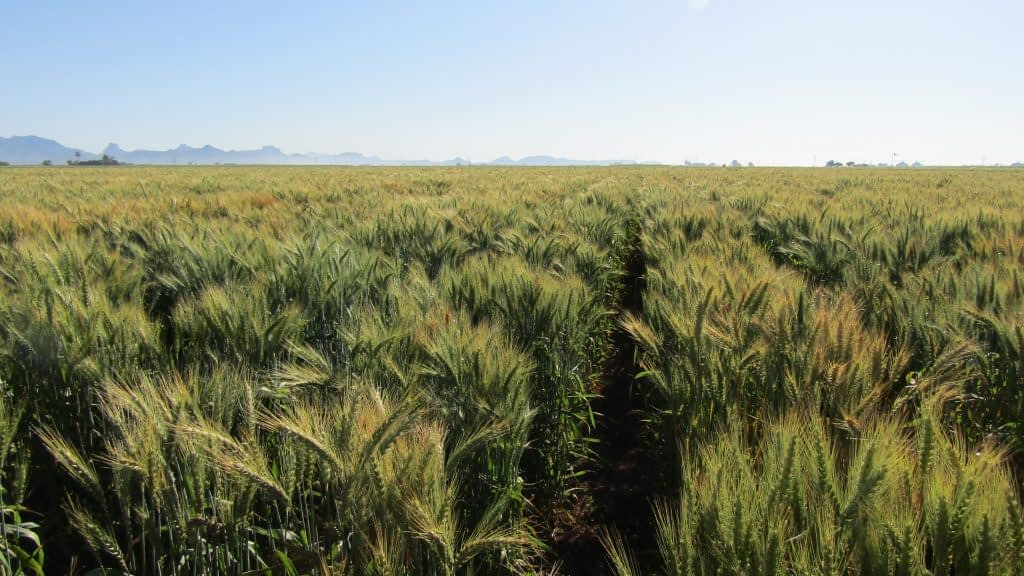 Elite wheat varieties at CIMMYT's experimental station in Ciudad Obregon, in Mexico's Sonora state. (Photo: Marcia MacNeil/CIMMYT)