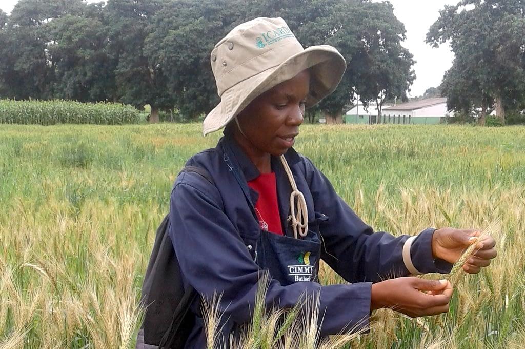Researchers from ZARI check for wheat blast in experimental plots. (Photo: Batiseba Tembo/ZARI)