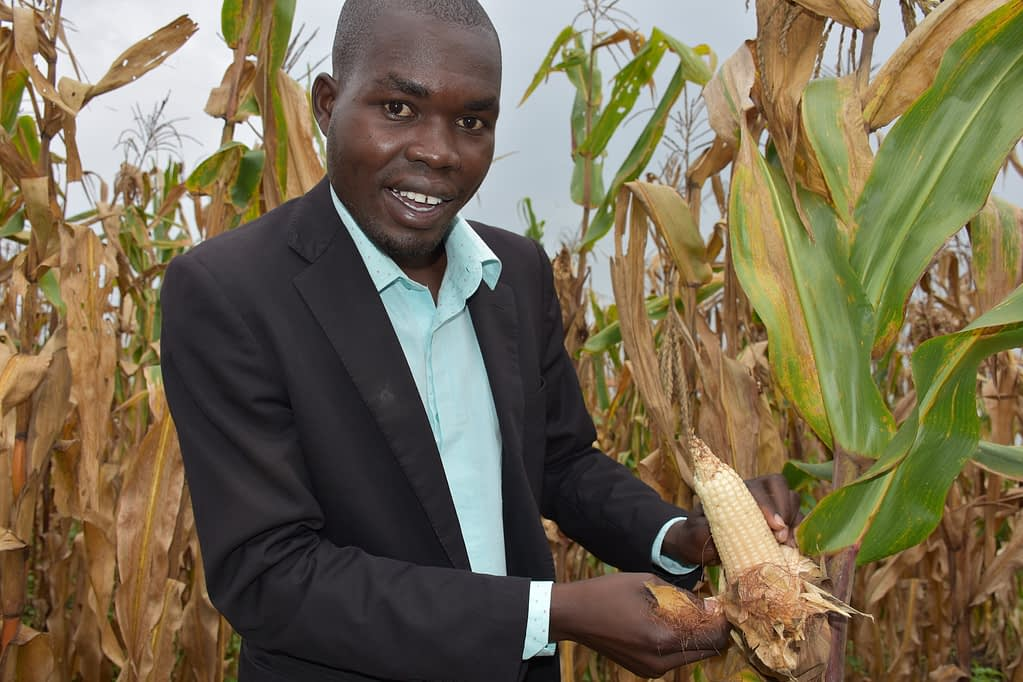 Aniku Bernard, Farm Manager, examines a maize cob at the foundation seed farm located inside the Lugore Prison premises. (Photo: Joshua Masinde/CIMMYT)
