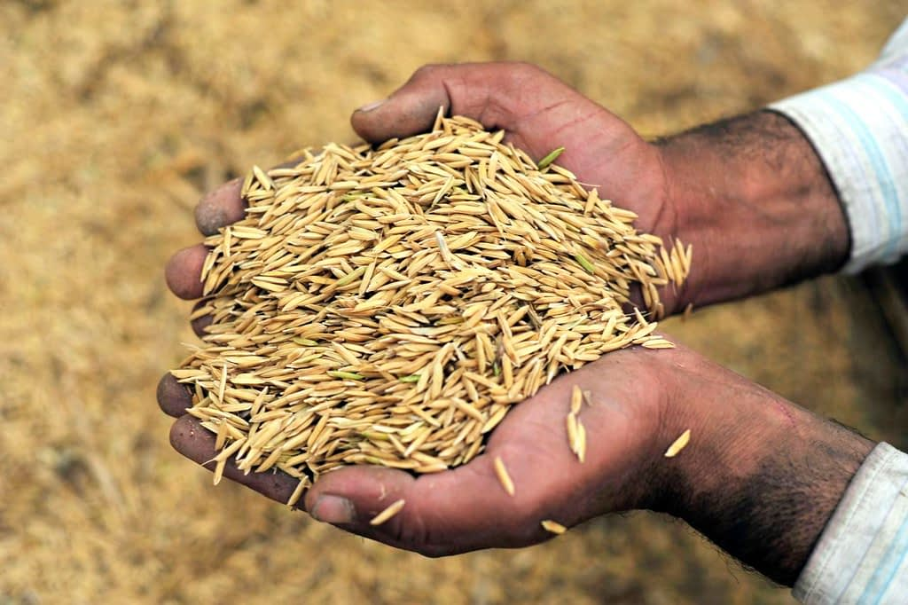 A farmer in Punjab, India, holds up a handful of freshly threshed rice. (Photo: Neil Palmer/CIAT)