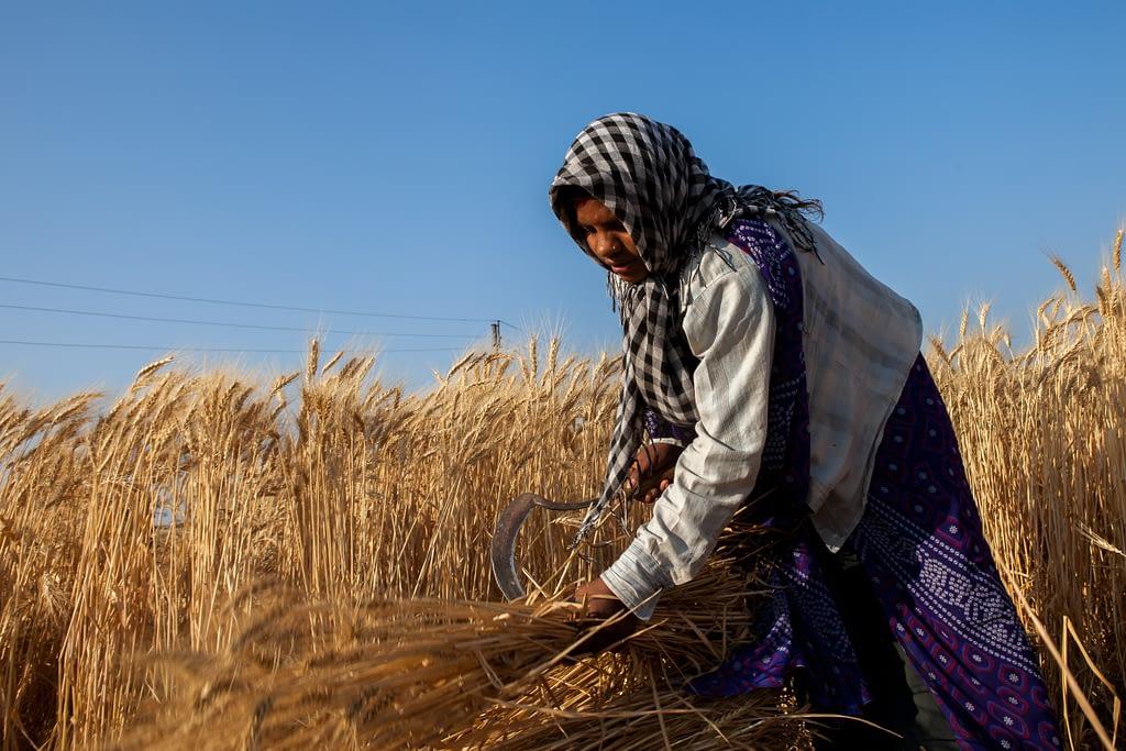 A wheat farmer in India. (Photo: J. Cumes/CIMMYT)