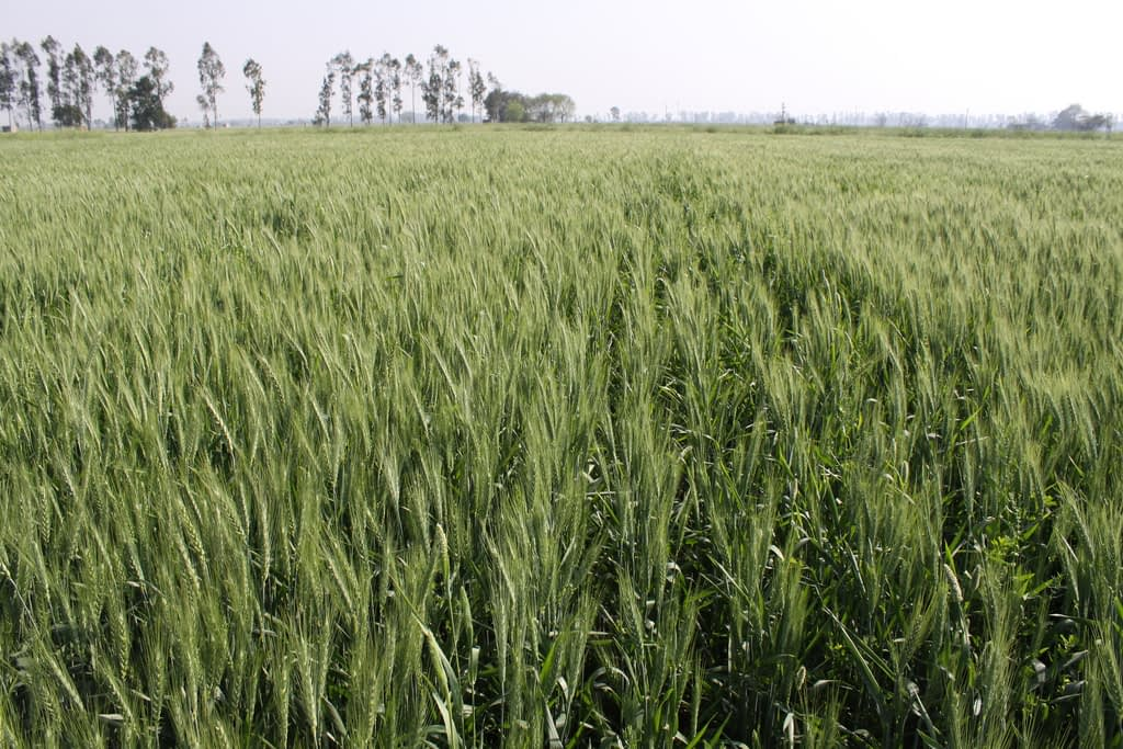 Zero-tillage wheat growing in the field in Fatehgarh Sahib district, Punjab, India. (Photo: Petr Kosina/CIMMYT)