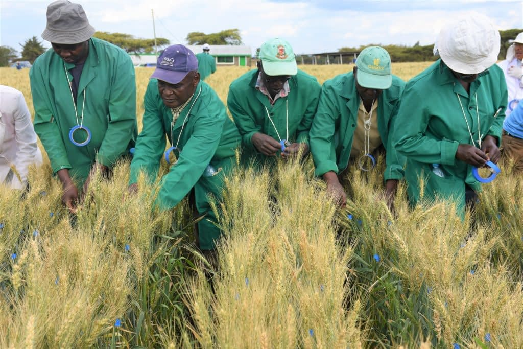 KALRO staff selecting and taping promising wheat plants with resistance to stem rust disease at the wheat stem rust phenotyping facility in Njoro. (Photo: Joshua Masinde/CIMMYT)