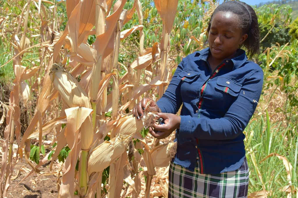 Tabitha Kamau examines drought-tolerant KDV4 maize in her plot in the village of Kavilinguni, Machakos County, Kenya. (Photo: Joshua Masinde/CIMMYT)