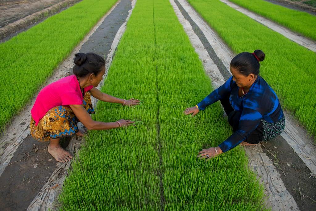 Farmers Kanchimaya Pakhrin and her neighbor Phulmaya Lobshan weed rice seedling bed sown by machine in Purnabas, Kanchanpur, Nepal. (Photo: P. Lowe/CIMMYT)