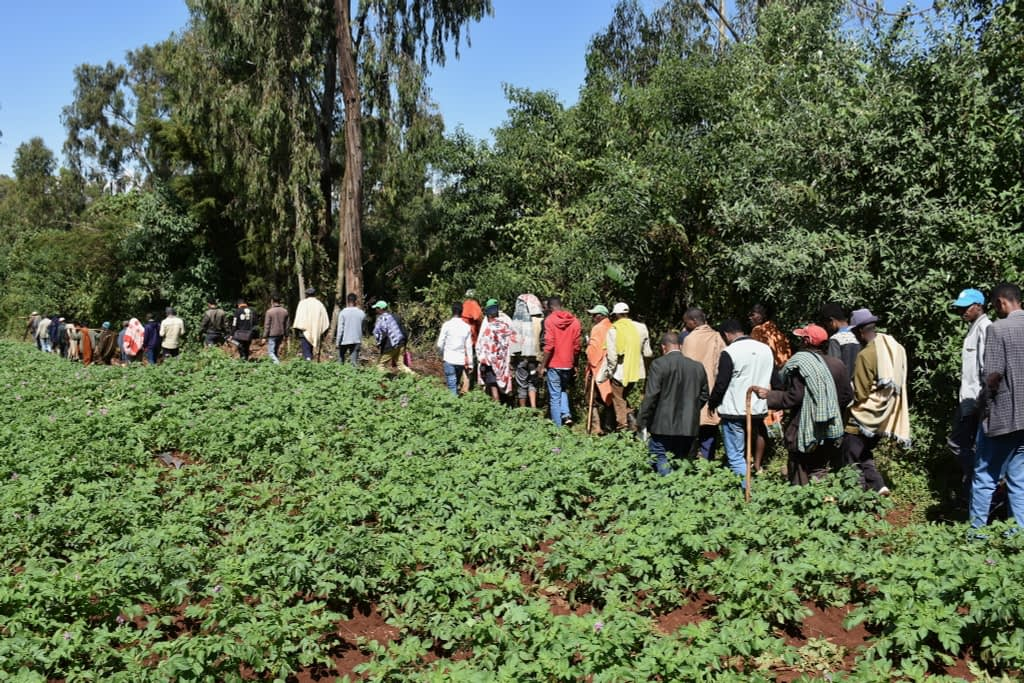 Farmers walk by irrigated potato fields during a field day to learn about the use of small-scale agricultural mechanization. (Photo: Simret Yasabu/CIMMYT)