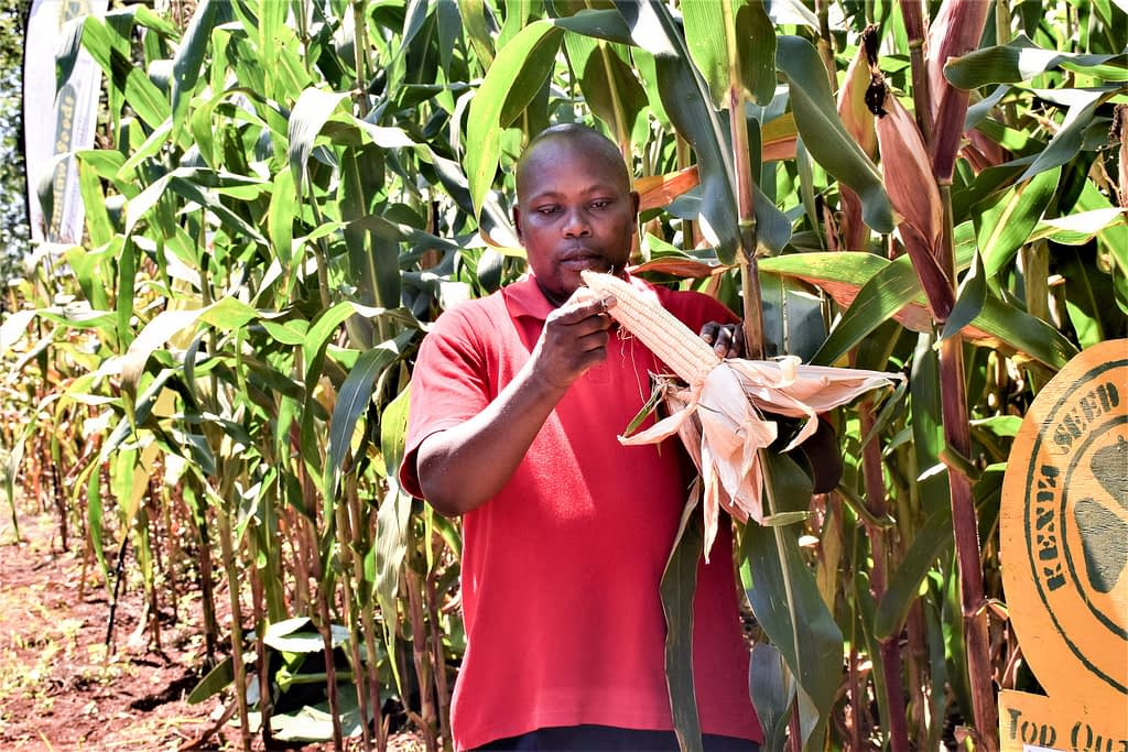 STAK chief executive officer Duncan Ochieng' examines a maize cob in one of the demo plots. (Photo: Joshua Masinde/CIMMYT)