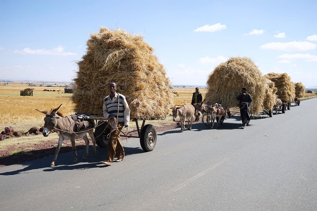 Men transport wheat straw on donkey karts in Ethiopia's Dodula district. (Photo: Peter Lowe/CIMMYT)