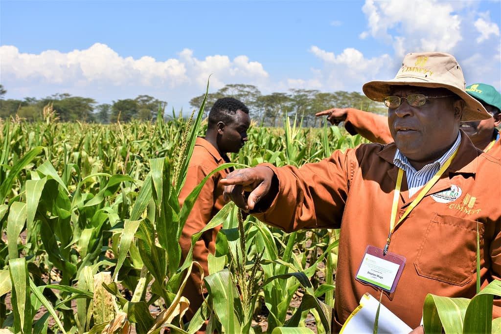 Stephen Mugo (right) at the MLN research station in Naivasha, Kenya, in September 2018. (Photo: Joshua Masinde/CIMMYT)