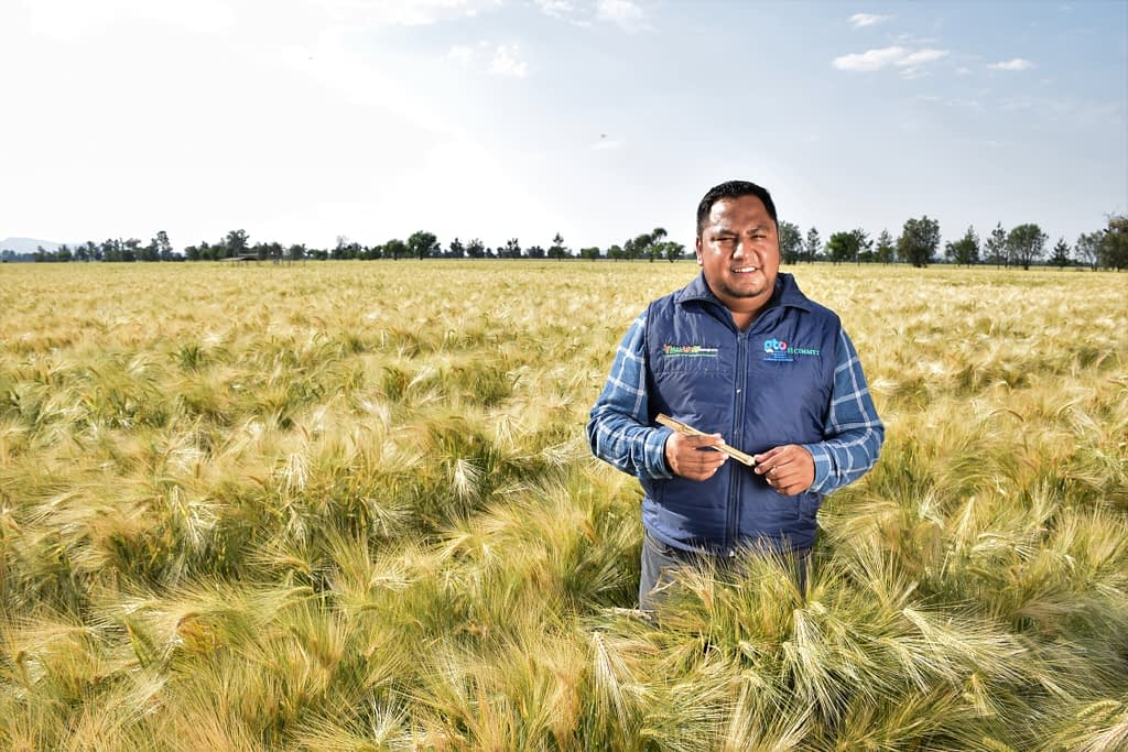 Ortiz Hernández in a wheat field in Guanajuato where sustainable and climate-smart practices are implemented. (Photo: Francisco Alarcón/CIMMYT)