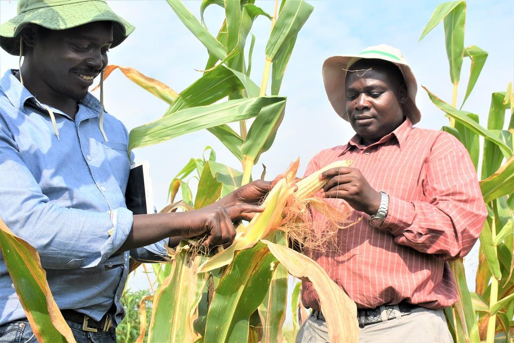 Godfrey Asea (R) and Daniel Bomet (L) from Uganda's National Agricultural Research Organization (NARO) admire maize cobs on a farm in Uganda. (Photo: Joshua Masinde/CIMMYT)