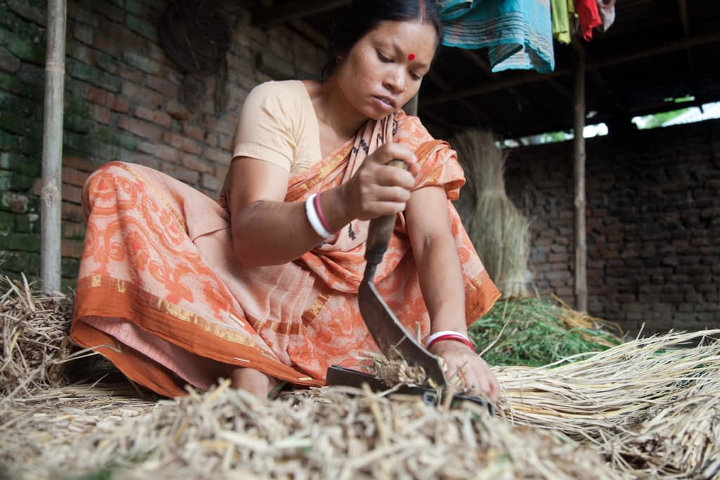 A Bangladeshi woman cuts up feed for her family's livestock. They did not previously have animals, but were able to buy them after her husband, Gopal Mohanta, attended a farmer training from CIMMYT and its partners, which gave him access to better seed, technologies, and practices. Mohanta planted a wider range of crops, and in 2005 he planted maize for the first time, using improved seed based on CIMMYT materials. (Photo: S. Mojumder/Drik/CIMMYT)