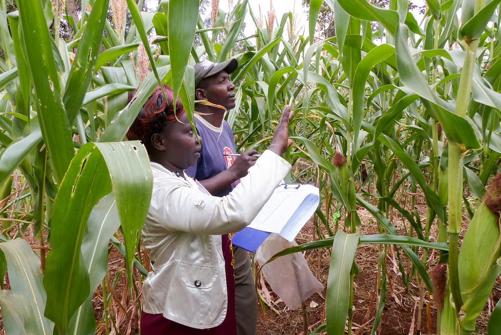 Two smallholder farmers evaluate Ms44 hybrids during an on-farm evaluation in Embu, Kenya. (Photo: Hugo De Groote/CIMMYT)