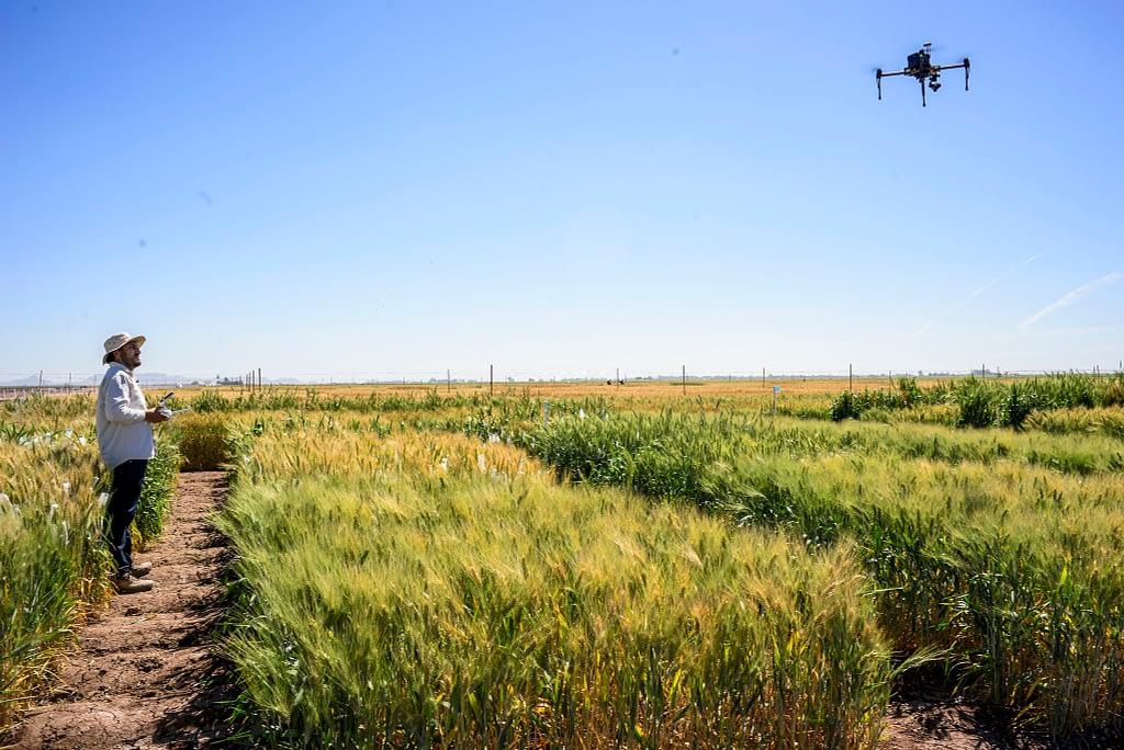 CIMMYT scientist Francisco Pinto operates a drone over wheat plots at CIMMYT's experimental station in Ciudad Obregon, Mexico. (Photo: Alfonso Cortés/CIMMYT)