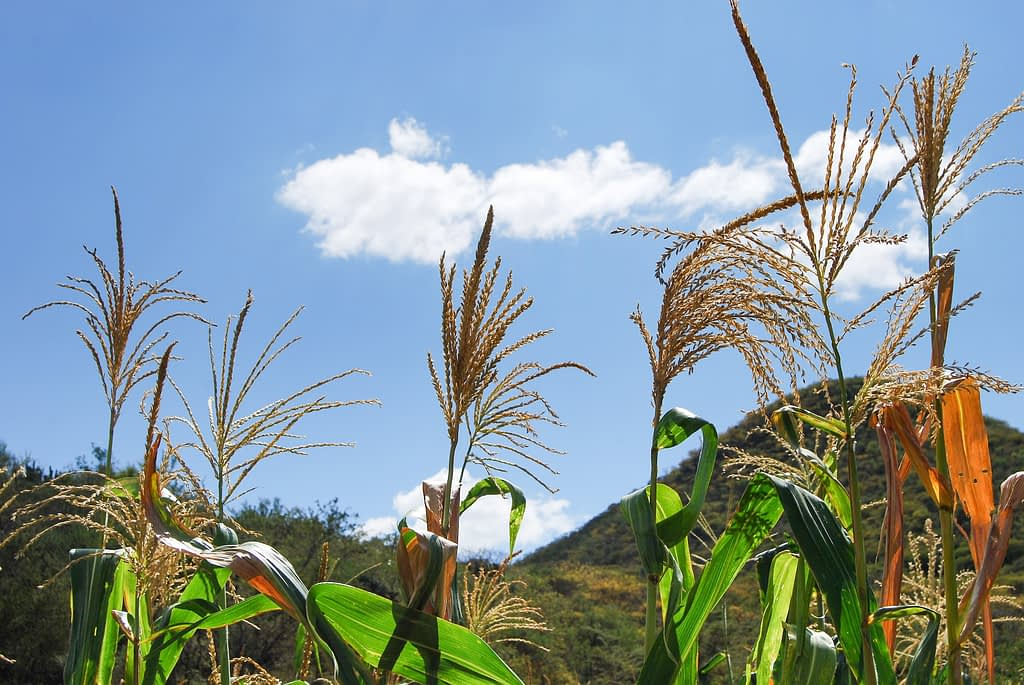 Native maize tassels against a bright blue sky in Tonahuixtla. (Photo: Denise Costich/CIMMYT)