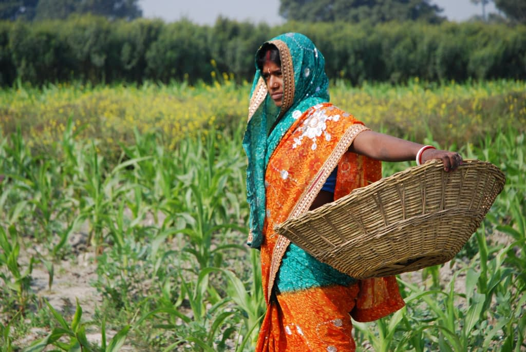 A farmer weeds a maize field in Pusa, Bihar state, India. (Photo: M. DeFreese/CIMMYT)