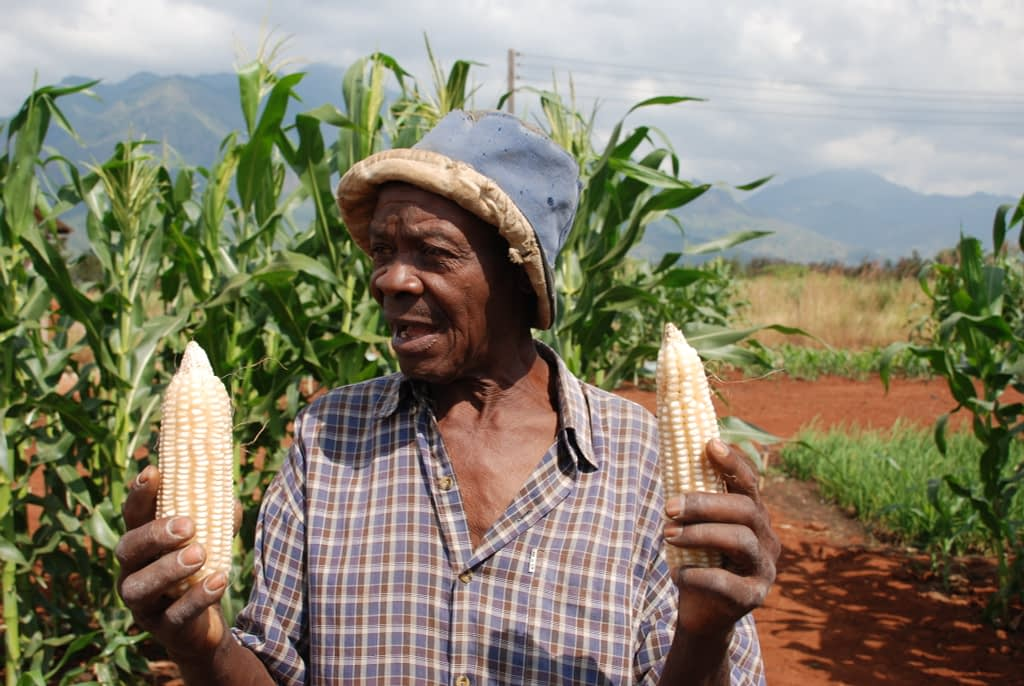 A farmer in Morogoro, Tanzania, discusses differences in his maize ears caused by differences in on-farm conditions. (Photo: Anne Wangalachi/CIMMYT)