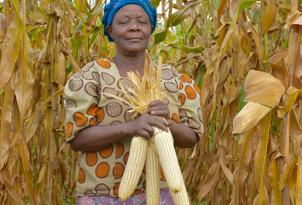 Alice Nasiyimu holds four large cobs of maize harvested at her family farm in Bungoma County, in western Kenya. (Photo: Joshua Masinde/CIMMYT)