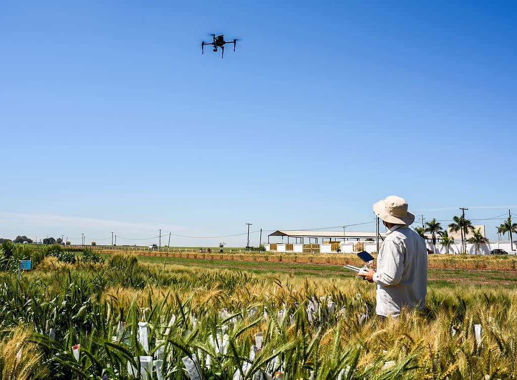 A researcher flies a UAV to collect field data at CIMMYT's experiment station in Ciudad Obregón, Mexico. (Photo: Alfonso Cortés/CIMMYT)