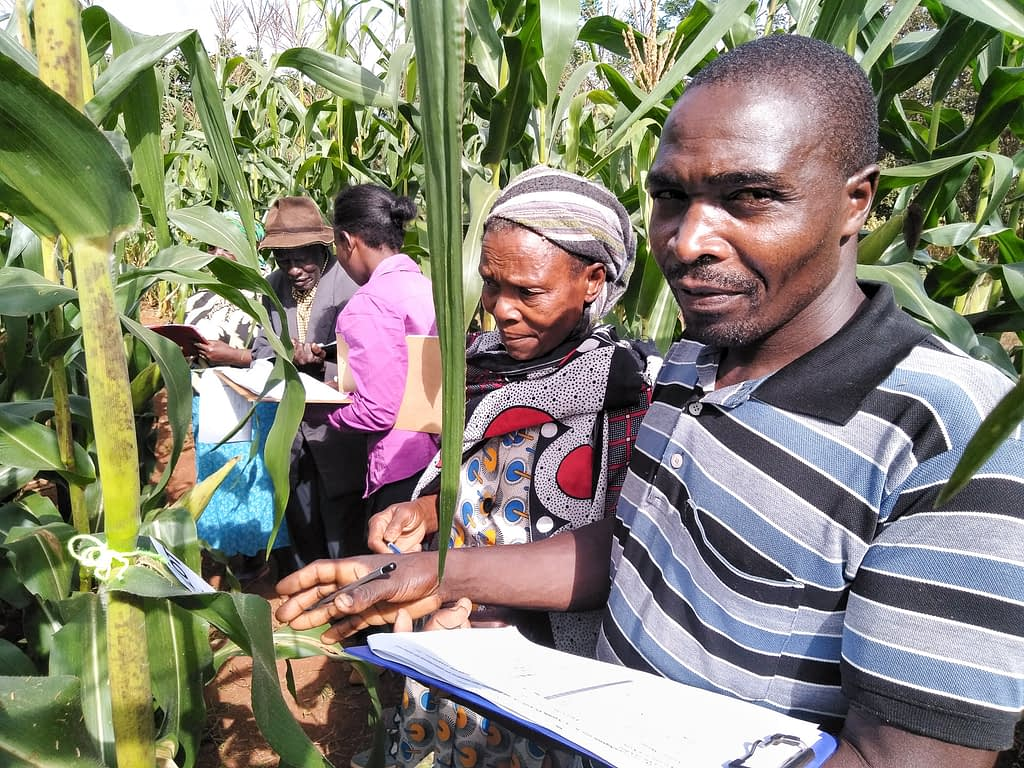Smallholder farmers evaluate Ms44 hybrids in Embu, Kenya. (Photo: Mike Ndegwa/CIMMYT)
