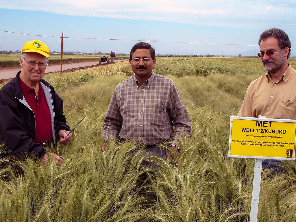 Norman Borlaug (left), Ravi Singh (center) and Hans Braun stand in the wheat fields at CIMMYT's experimental station in Ciudad Obregón, in Mexico's Sonora state. (Photo: CIMMYT)