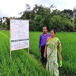 Bablu Modak demonstrates his unpuddled mechanically transplanted rice.