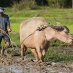 A farmer ploughs a rice field with a water buffalo. (Photo: Licensed from Digitalpress - Dreamstime.com; Image 11205929)