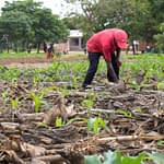 Matolino Zimba checks on the emerging maize crop, which has been covered in crop residue to conserve moisture, at the field school in Tiyese, Malawi. (Photo: Emma Orchardson/CIMMYT)