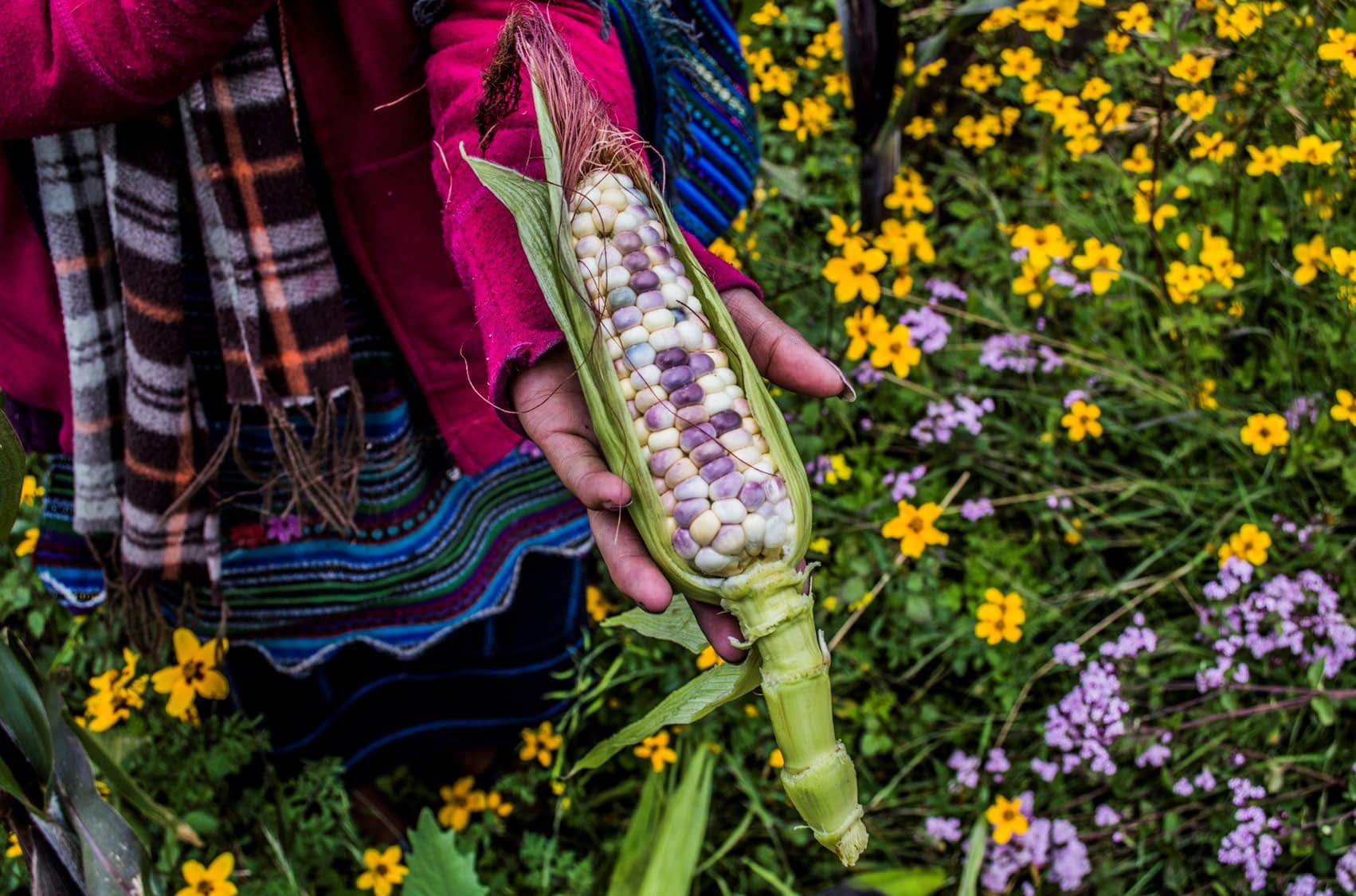 A farmer holds a maize ear. (Photo: Cristian Reyna)