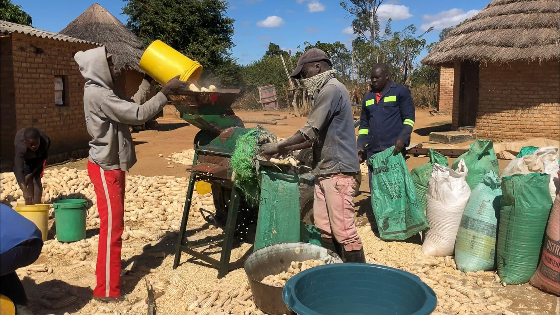 (From left to right) Shepard Kawiz, 24, gathers dried maize cobs into a bucket passing it to his brother Pinnot Karwizi, 26, who pours the maize into the sheller machine by feeding the hopper. The maize falls into the sheller's barrel where high-speed rotation separates the grain from the cob. As the bare shafts are propelled out one side, Masimba Mawire, 30, is there to catch and dispose of them. Meanwhile, Gift Chawara, 28, is making sure a bag is securely hooked to the machine to collect the maize grain. (Photo: Matthew O'Leary/CIMMYT)