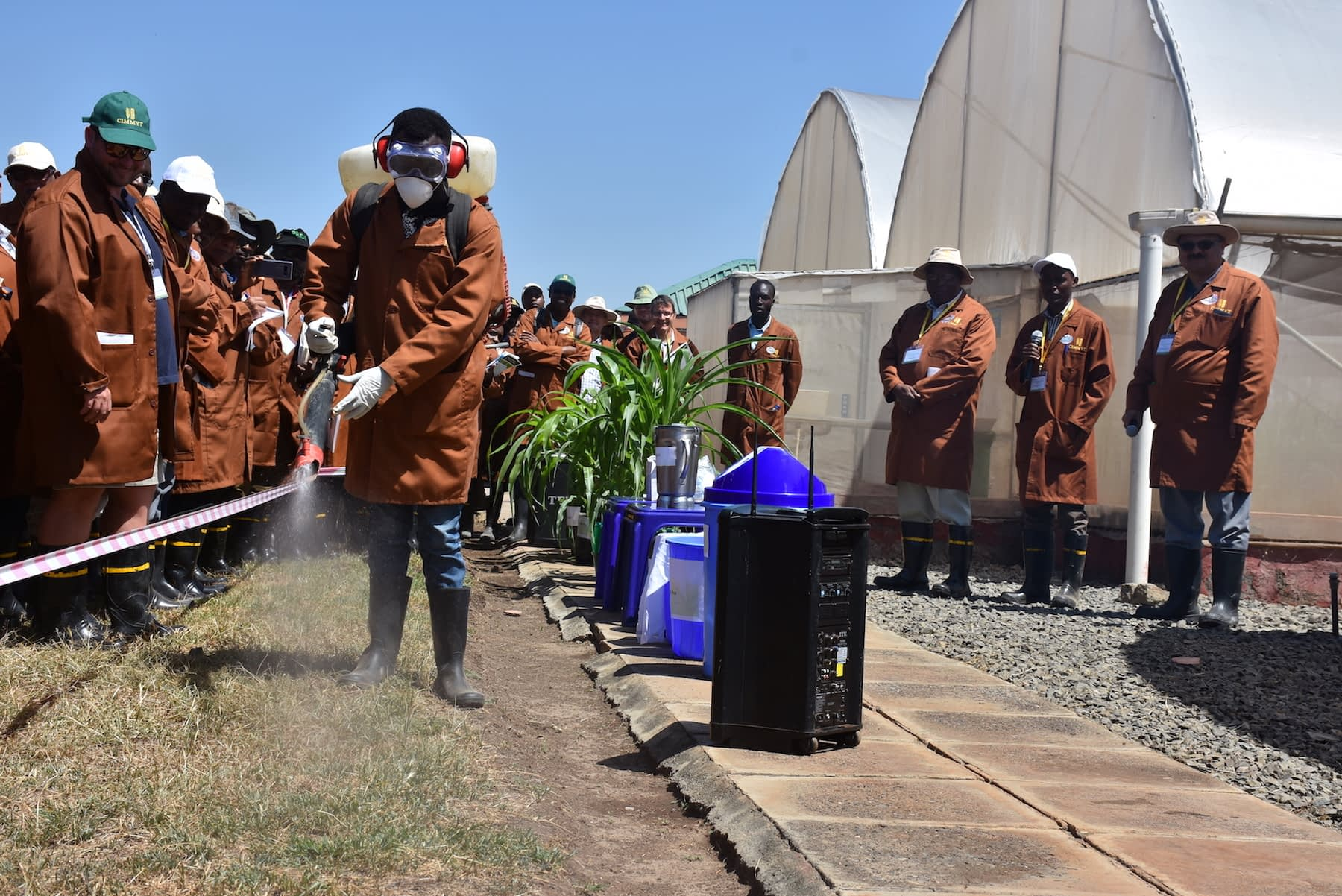A worker at the Naivasha MLN research station conducts a mock inoculation (Photo: Joshua Masinde/CIMMYT)