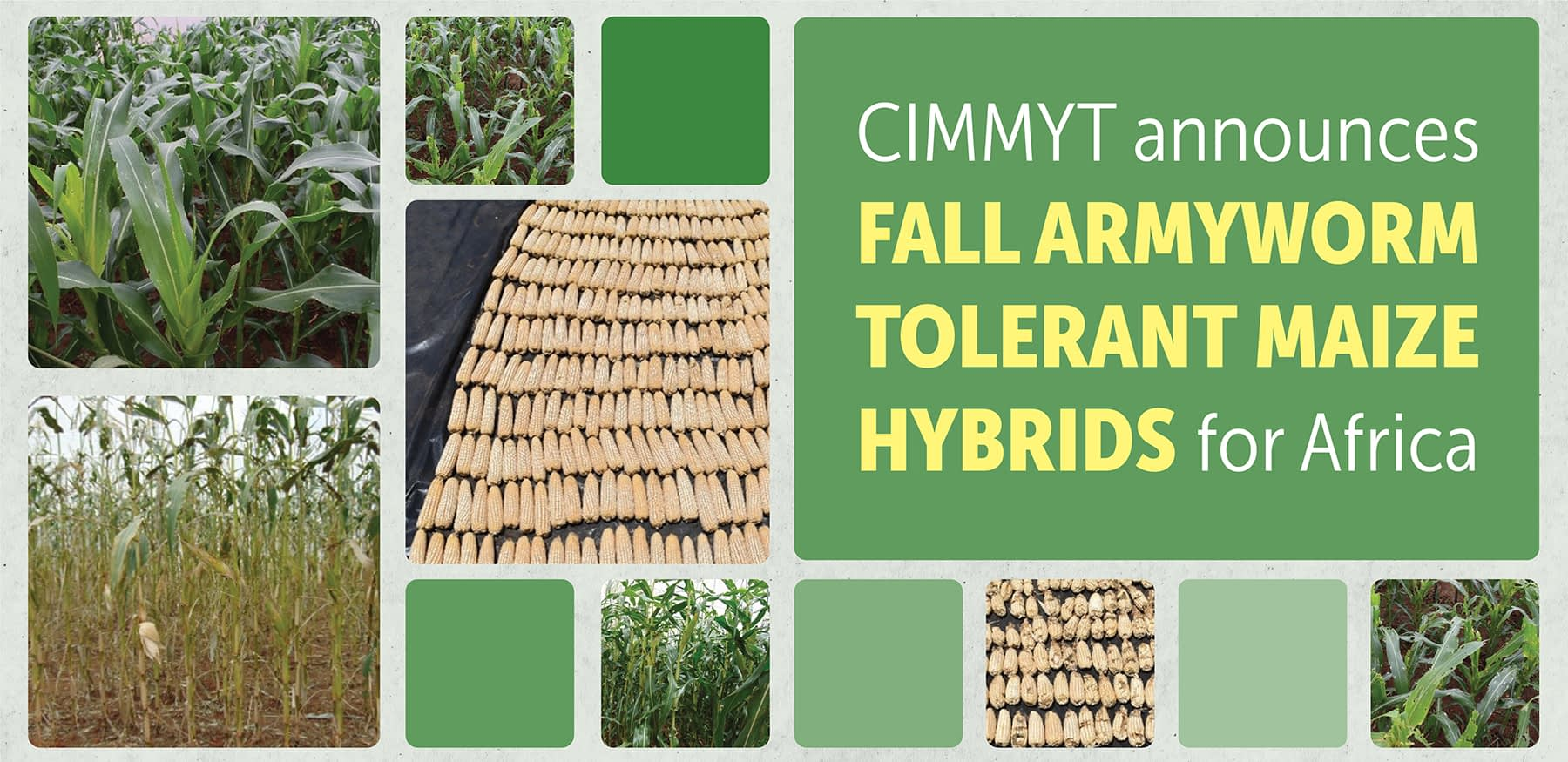 CIMMYT announced fall armyworm-tolerant maize hybrids for Africa.