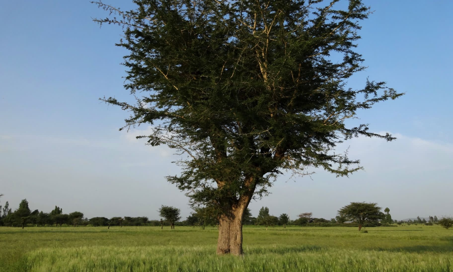 In Ethiopia, scattered trees in crop fields have been practiced for centuries. (Photo: Tesfaye Shiferaw /CIMMYT)
