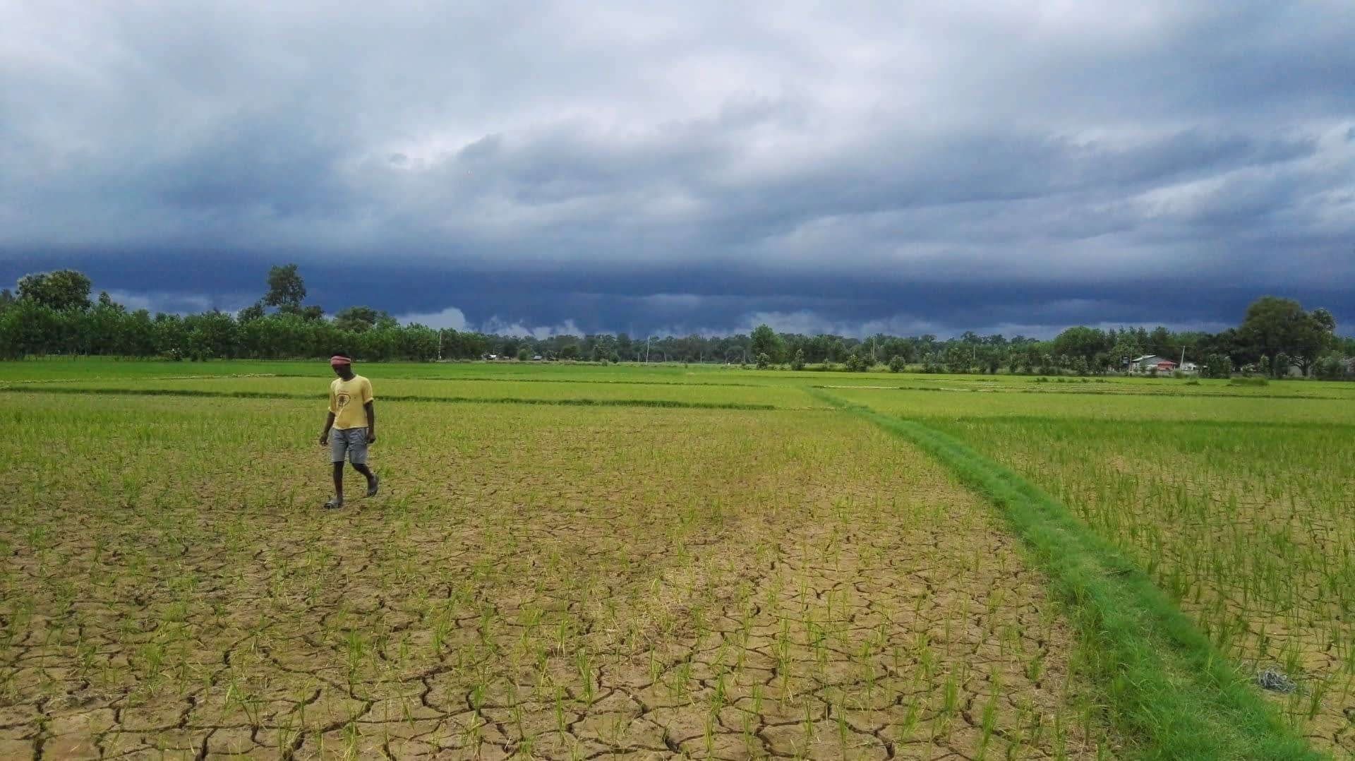 A farmer in Banke district during monsoon season drought in 2017. (Photo: Anton Urfels/CIMMYT)
