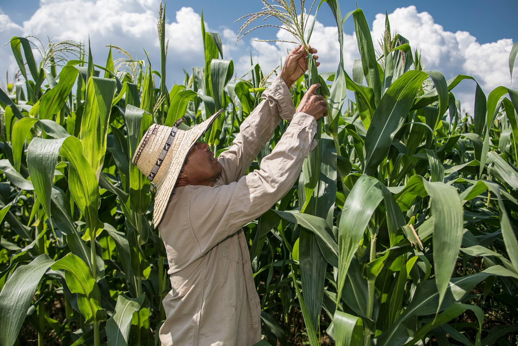 A farmer examines a zinc-enriched maize plant. (Photo: CIMMYT)