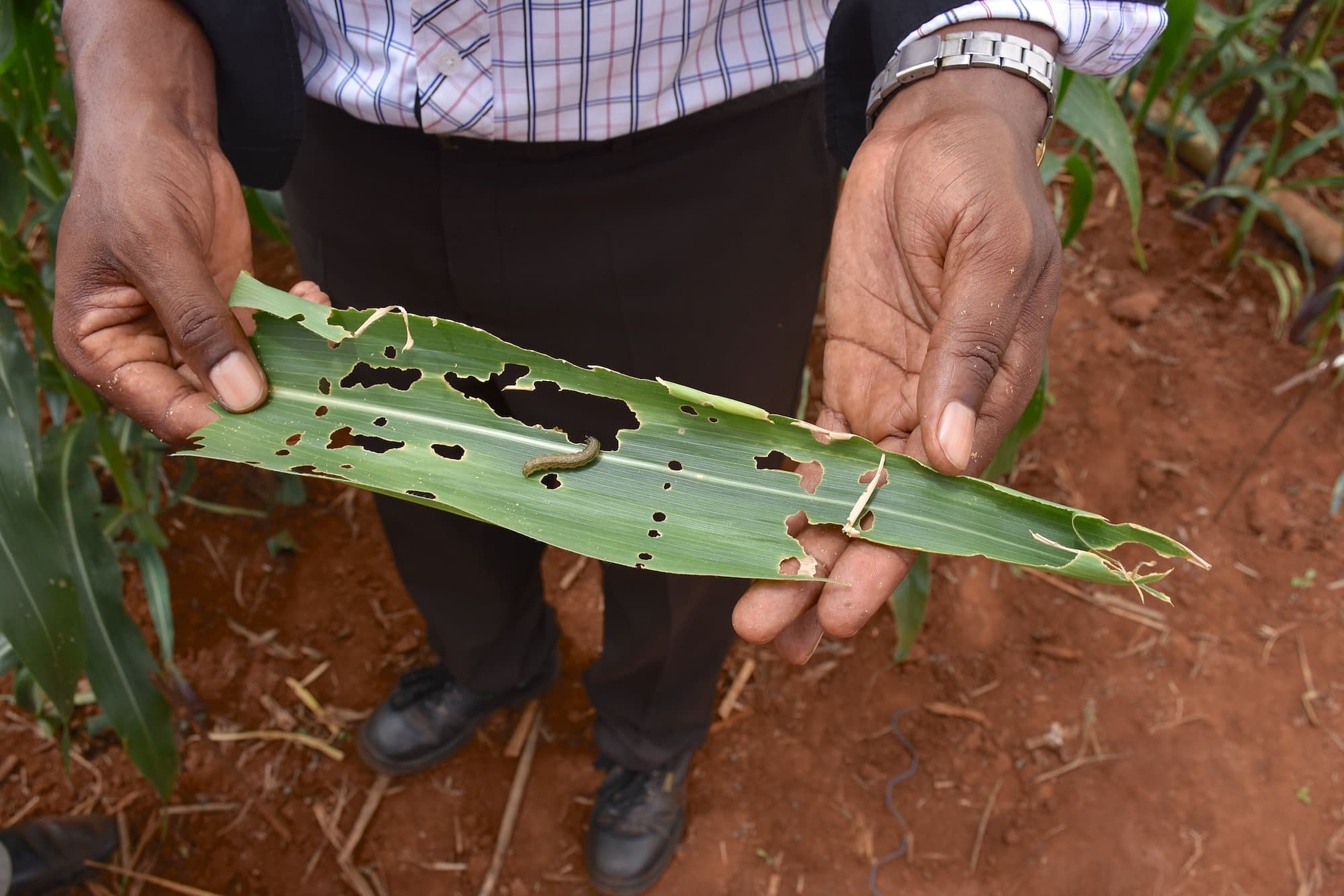 A researchers shows a maize leaf affected by fall armyworm at CIMMYT's fall armyworm screenhouse in Kiboko, Kenya. (Photo: Jennifer Johnson/CIMMYT)