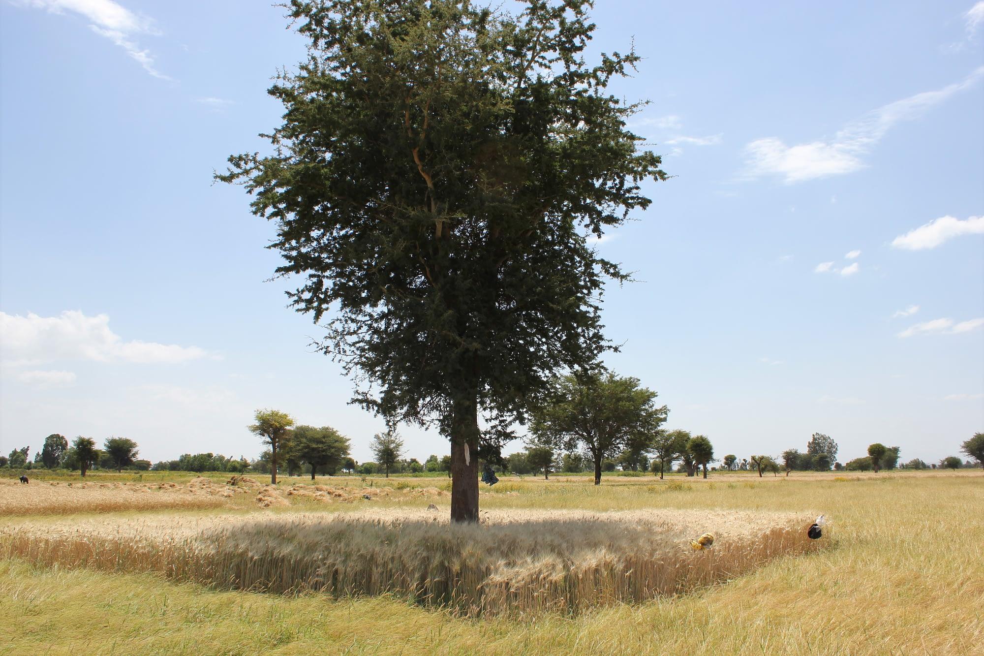 A tree-crop system in Ethiopia. (Photo: Tesfaye Shiferaw /CIMMYT)