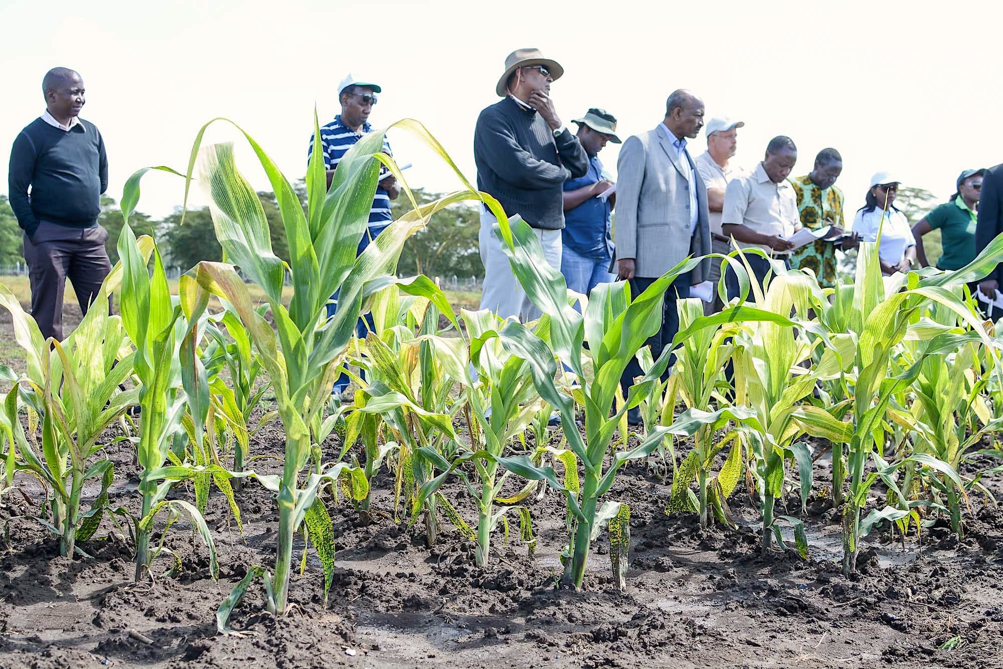 Researchers and visitors listen to explanations during a tour of infected maize fields at the MLN screening facility in Naivasha, Kenya. (Photo: CIMMYT)