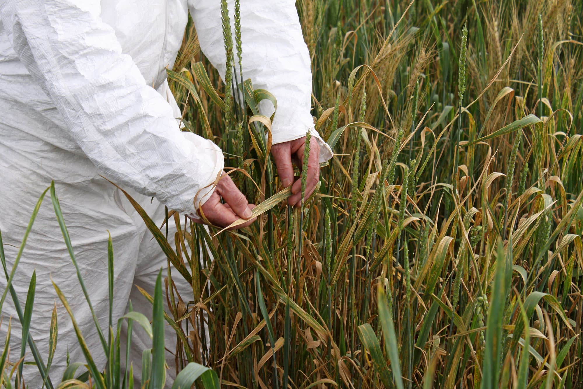 Wheat rust expert Bob McIntosh, of the Plant Breeding Institute, University of Sydney, Australia, examining rust symptoms on a wheat line in Kenya. (Photo: Petr Kosina/CIMMYT)