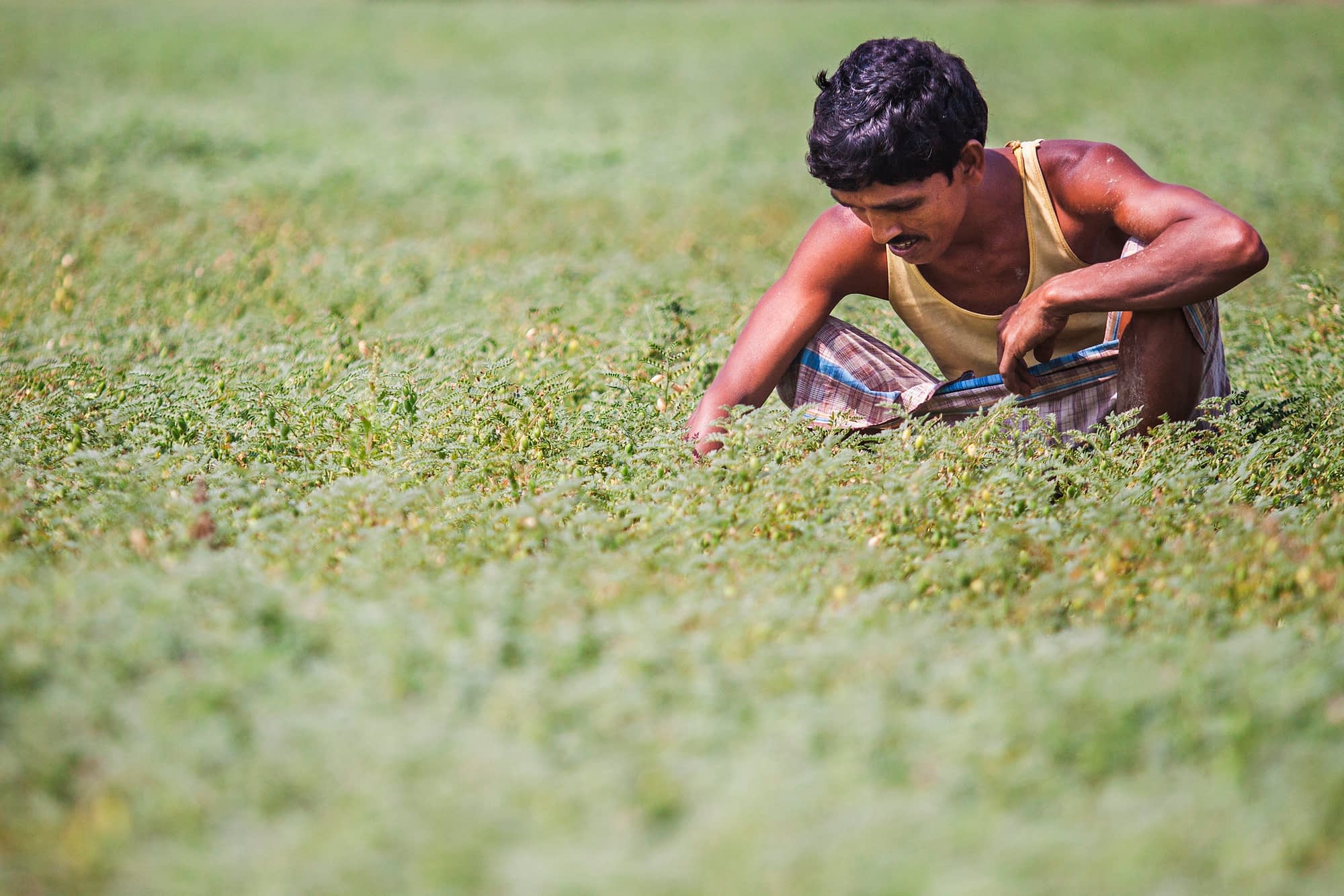 Hafiz Uddin, a farmer from Ulankhati, Tanpuna, Barisal, Bangladesh. He used seeder fertilizer drills to plant mung beans on one acre of land, which resulted in a better yield than planting manually. (Photo: Ranak Martin)