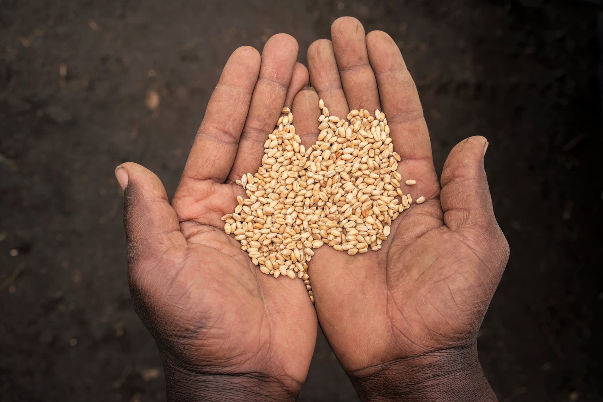 Hands hold wheat grain from harvest near Belbur, Nakuru, Kenya. (Photo: Peter Lowe/CIMMYT)