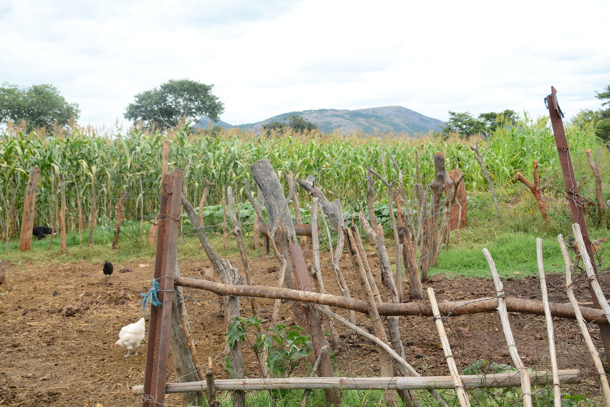 Cattle fattening pens at Cosmas and Netsai Garwe's homestead. (Photo: Shiela Chikulo/CIMMYT)