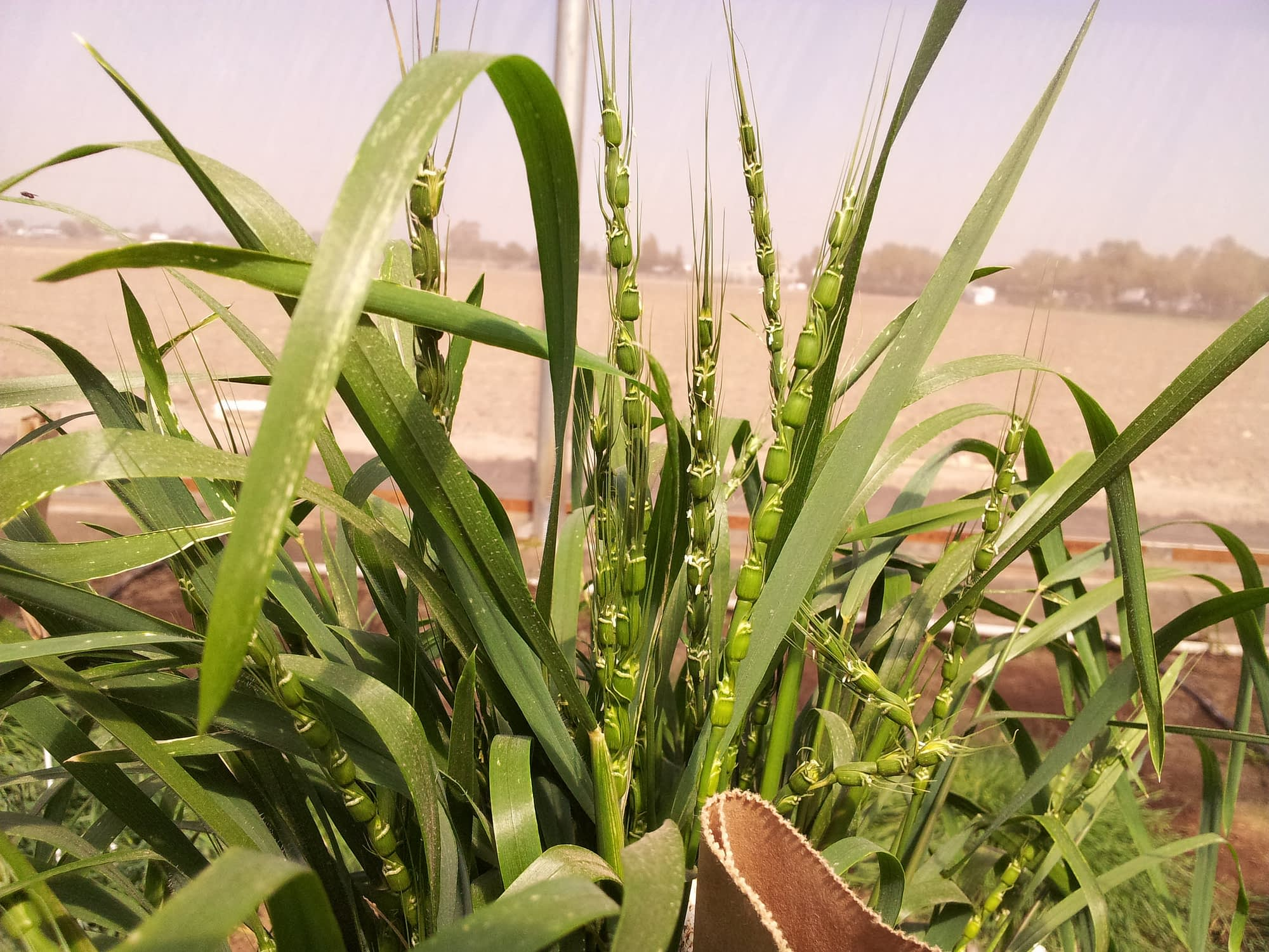 The reported work by wheat scientists paves the way for expanded use of wild grass species, such as Aegilops tauschii (also known as goat grass; pictured here) as sources of new genes for higher grain zinc in wheat. (Photo: Rocio Quiroz/CIMMYT)