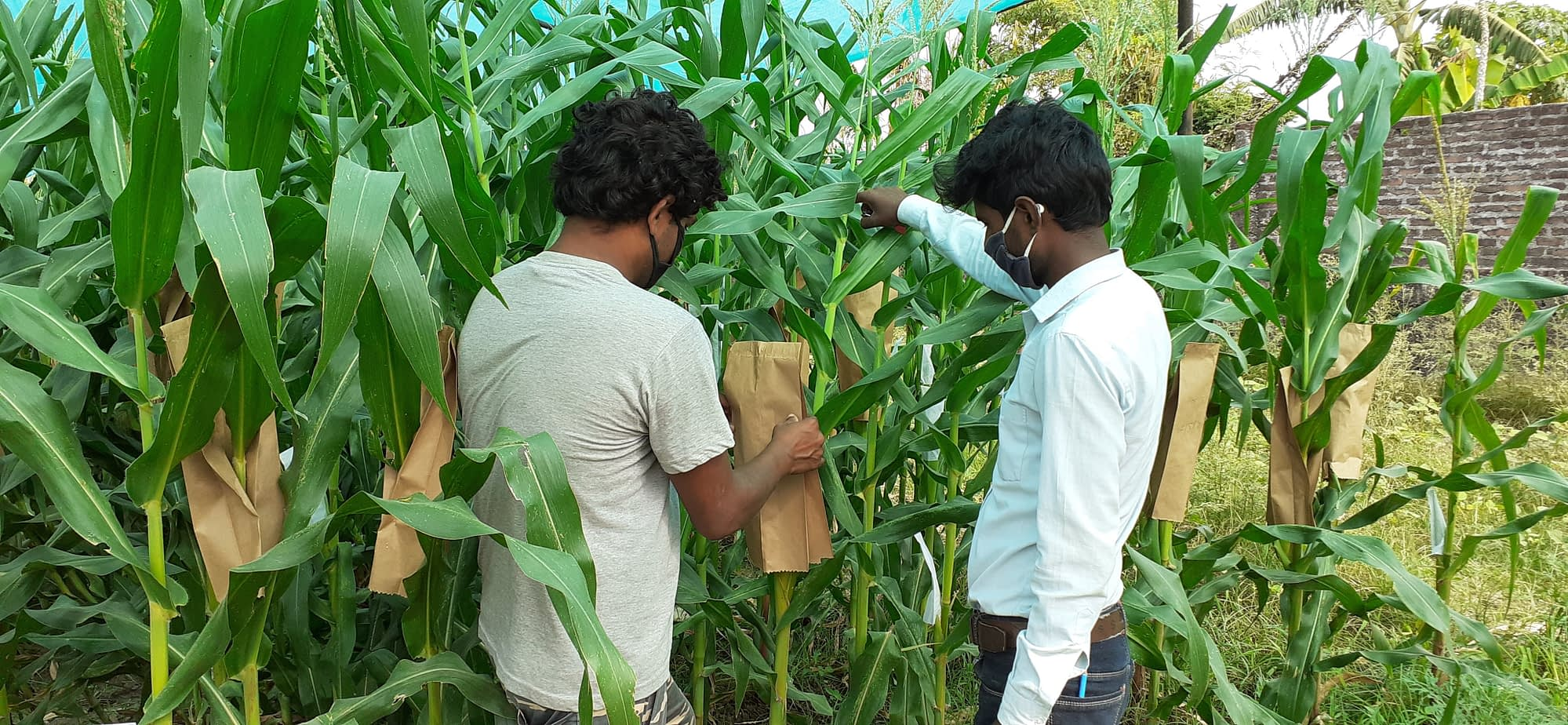 Private seed companies bag maize for selfing new maize product. (Photo: Arun Thapa/CIMMYT)