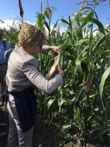 Bill & Melinda Gates Foundation CEO Sue Desmond-Hellmann pollinates maize. Photo: Alfonso Cortes/ CIMMYT